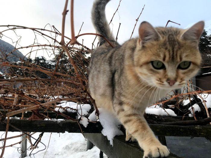 Gatto in vigna